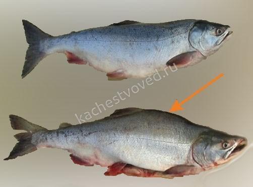 Как отличить рыбу горбушу самку от самца фото